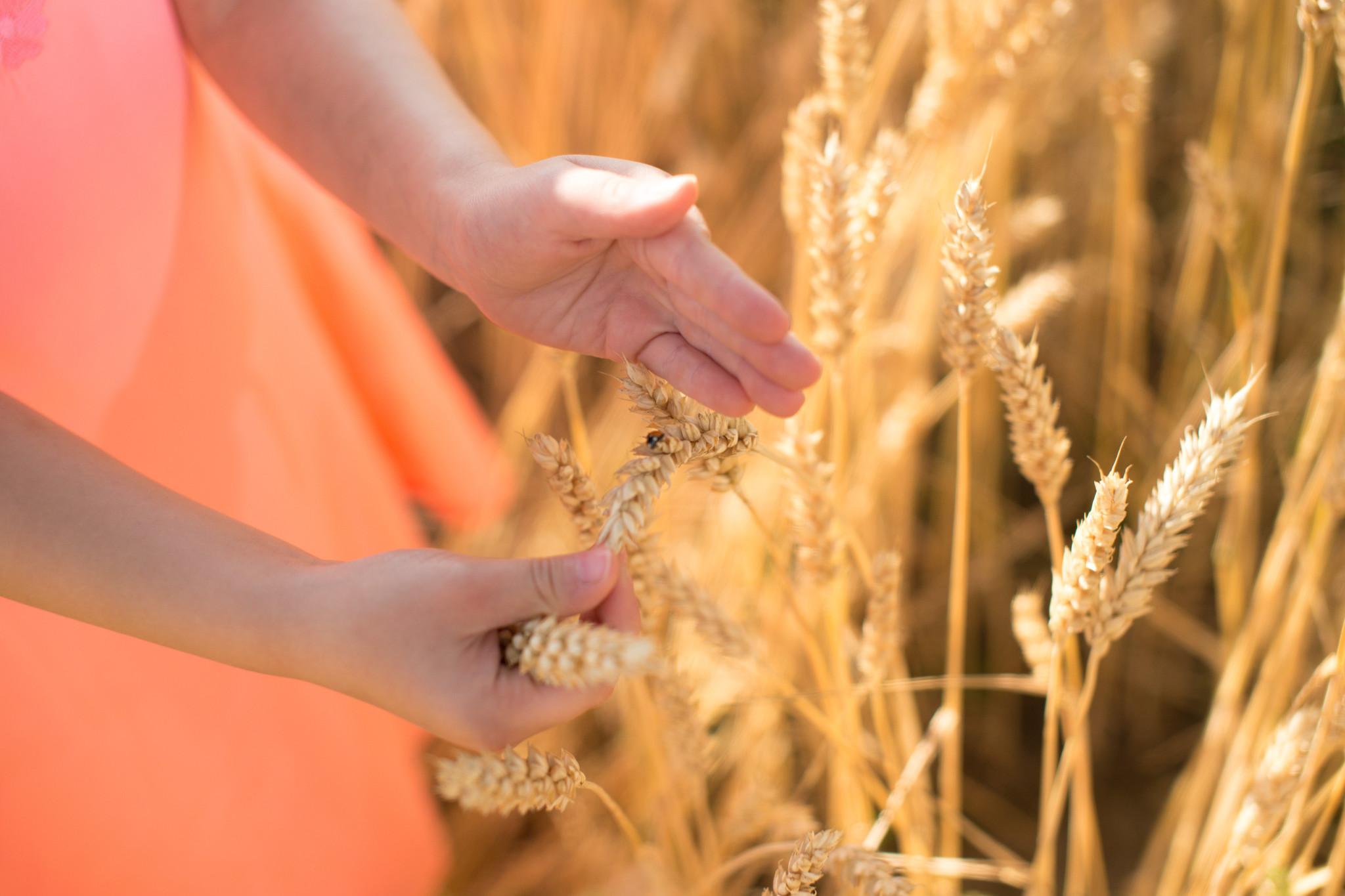 2 Hände Getreide